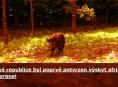 Africký mor prasat se vyskytl v České republice