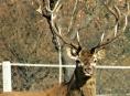 Myslivec neudržel loveckou vášeň a vystřelil na jelena