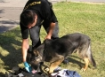 Jesenický policejní pes Mazym má další úspěch při pátrání