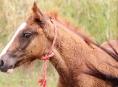 Veterinární správa prověřovala, jestli zase nejíme koninu