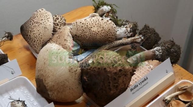 Celostátní výstava hub v šumperském muzeu