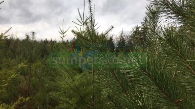Vánoční stromky darují lesníci dětským zdravotnickým a sociálním zařízením