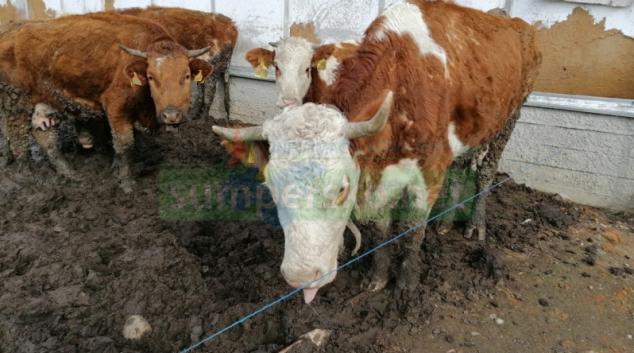 Podezření na týrání skotu v Olomouckém kraji