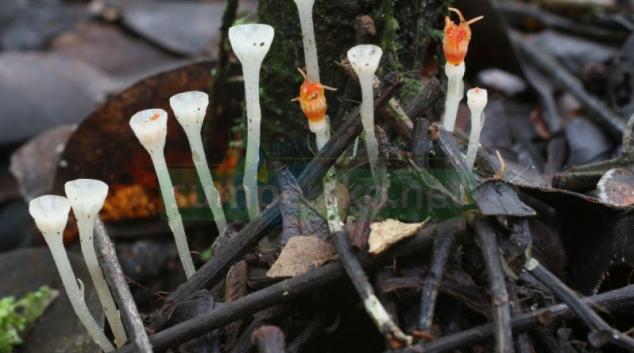 Přírodovědci z UP Olomouc našli na Borneu nejmenší druh hvězdnatky