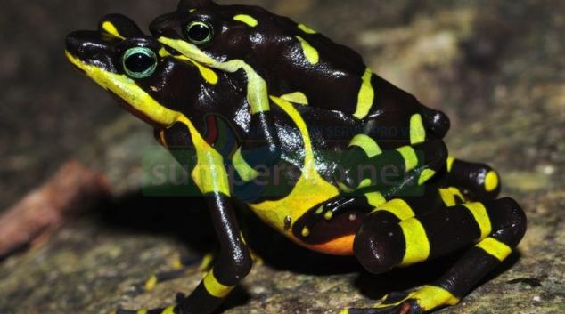 Vědci UP objevili v Panamě dosud nepopsaný druh ropuch
