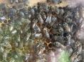 Začínající včelaři obdrží finanční podporu