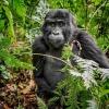Gorila horská - pozvánka na přednášku cestovatele J. Tempíra    zdroj foto: z.k.
