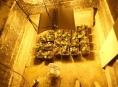 Indoorovou pěstírnu konopí ukrýval muž na Šumpersku ve sklepě