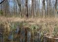 Lesy ČR znovu zaplavují jihomoravské lužní lesy