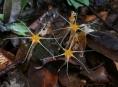 Biologové UP Olomouc našli na Borneu další dva nové druhy hvězdnatek