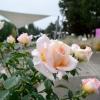 Oslava růží v olomouckém Rozáriu