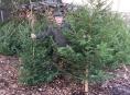 Vánoční stromky do nemocnic