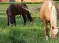 Zloděj ukradl koně Honzu a Ike