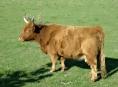 Čtvrt metrákovou krávu ukradli přímo z pastviny