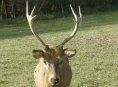 Tělo jelena bez hlavy zanechal pytlák u Sedmi Dvorů