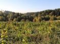 Šumperská policie sklidila v Crhově 1426 rostlin konopí