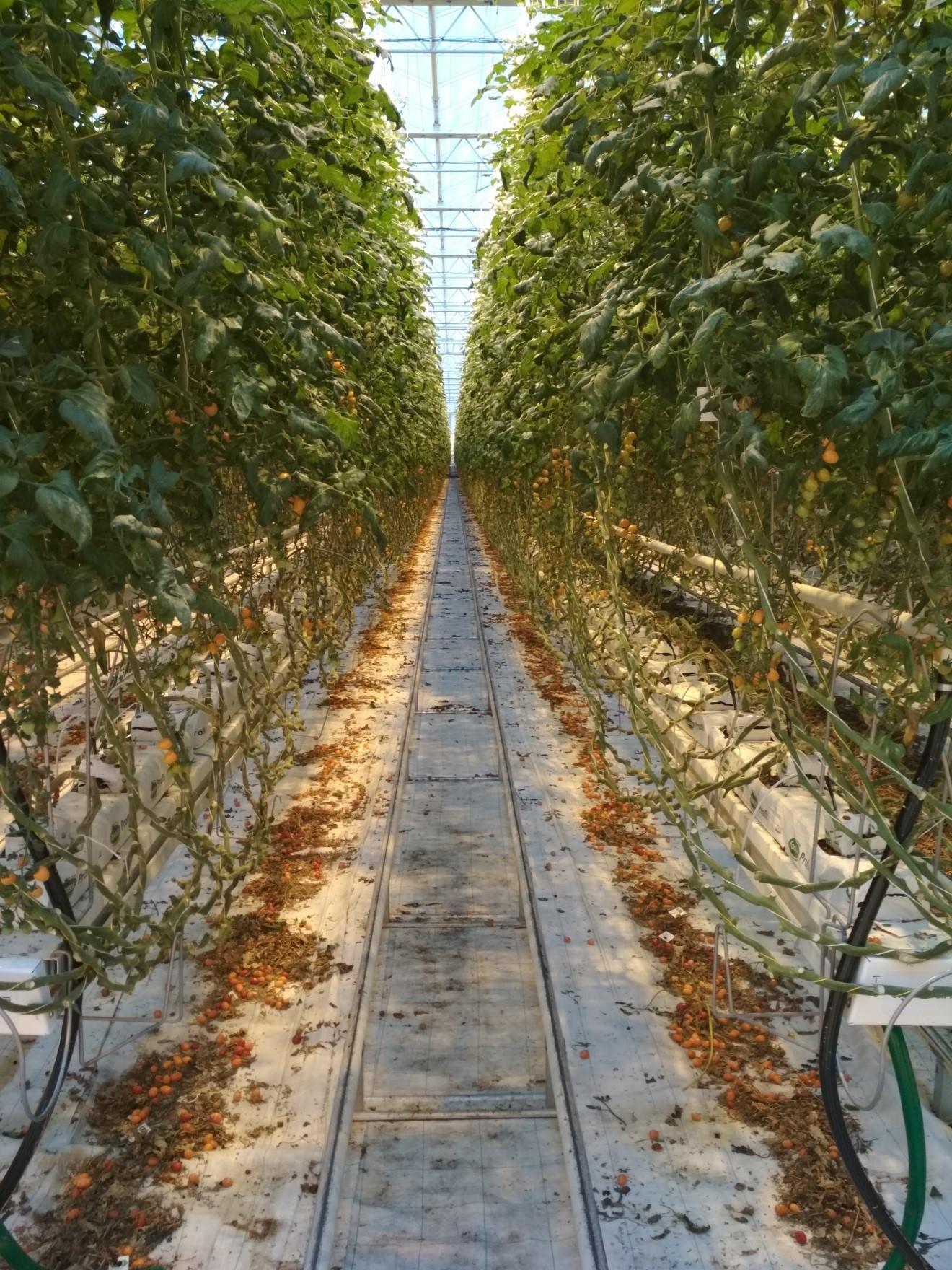 Hydroponické pěstování rajčat zdroj foto: UPOL - R. Koprna